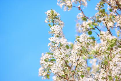 flowers, blossom, white, beautiful, aesthetic, branch, sky, blue, leaves, bokeh, petals, blur, garden
