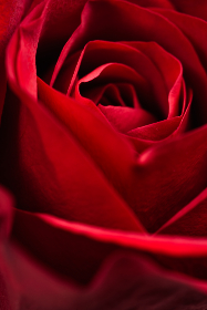 red,  rose,  macro,  rose background,  blossom,  red rose,  nature,  romantic,  closeup,  rose petal,  valentines, flora, rose, flower, plants, garden, fresh, bloom, blossom, botany
