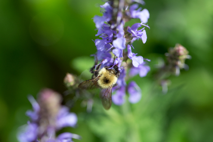 bee,  flower,  macro,  purple,  flowers,  petals,  pollen,  spring,  nature,  pollination,  garden,  detail,  closeup,  insect,  wings,  natural