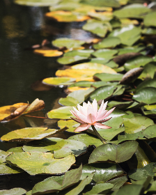 lily,  pads,  nature,  lotus,  flower,  plant,  water,  pond,  lake,  aquatic,  bloom,  wet,  floral,  leaf,  green,  outdoor