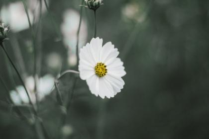 white, flower, petals, bloom, nature, plants, blur