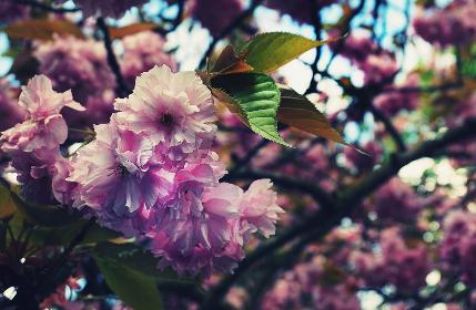 cherry blossom,  spring,  flowers,  pink flowers,  nature,  close up,  flora,  floral,  garden,  tree,  trees,  plants, vegetation, outdoors, bloom, botany