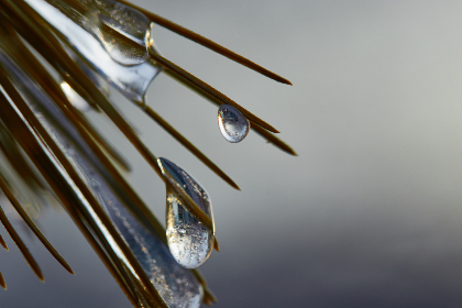 dew,   drops,   nature,   branch,   wet,   water,   droplet,   close up,   minimal,   rain,   leaf,   environment,  frozen,  pine,  cold,  background