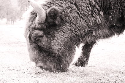bison, wild, animal, nature, outdoors, field, black and white