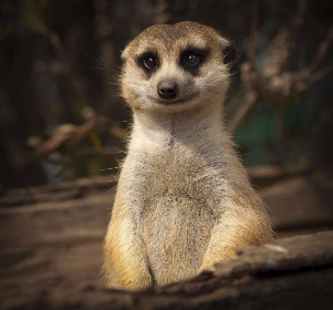 meerkat,   cute,   smile,   close,   eyes,   upright,   portrait,  wildlife,  animals,  happy