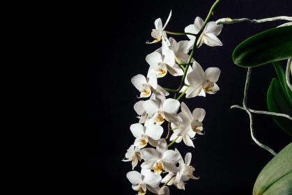 white, petal, dark, flower, orchids, nature