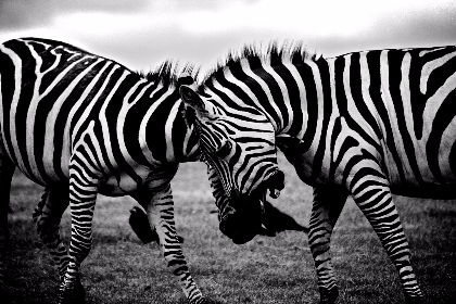 zebra,  clash,  wildlife,  animals,  fight,  black,  white,  black & white,  wild