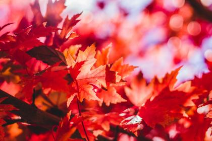 red, maple leaf, leaves, fall, autumn, nature