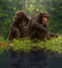 two,   brown,   chimpanzee,   animals,   wild,   jungle,   grass,   green,  monkey,  primate,  forest