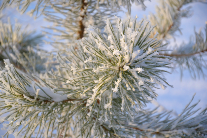 tree,   pine,   winter,   needles,   crystals,   snow,   hoarfrost,   winter forest,   branch,   christmas,   green