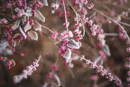 trees, branches, leaves, plants, berries, frost, winter, nature