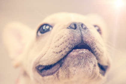 puppy,  smile,  close-up,  dog,  animal,  pet,  small,  big eyes,  nose,  ears