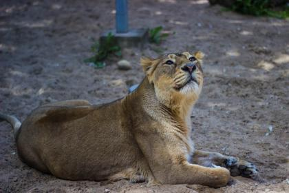 lion, wildlife, nature, ground, sand, animal, outdoor
