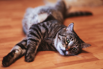 free photo of cat   laying