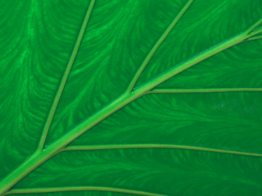 green,  leaf,  macro,  plant,  detail,  close up,  botanical,  element,  nature,  background,  texture,  wallpaper,  botany,  flora,  growth,  organic,  pattern