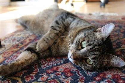 animals, feline, cats, whiskers, snout, fur, cute, adorable, eyes, curious, lay, persian, carpet, still, bokeh