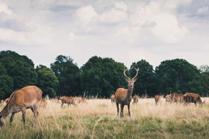 green, grass, grassland, field, herd, deer, animal, wildlife, trees, plants, nature, outdoor