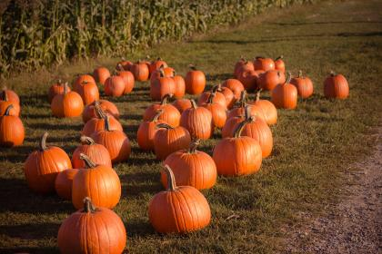 pumpkin, trick or treat, haloween, november, grass, fruit, crops