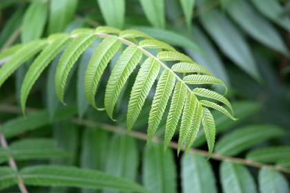 green,  plant,  leaves,  nature,  outdoors,  texture,  pattern,  vegetation,  organic,  natural,  foliage,  forest, simple