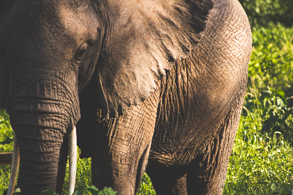 elephant, animal, wildlife, skin, texture, nature, outdoors, tusk, big