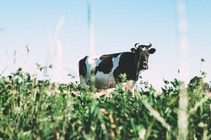cow, animals, grass, farm, agriculture, summer, sunshine, rural, countryside