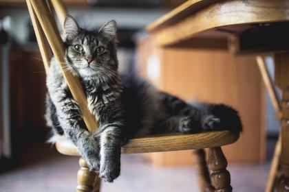 wooden, table, chair, furniture, dining, area, cat, animal, pet