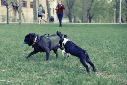 dogs, playing, park, grass, fetch, ball, pug