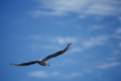 bird,  fly,  freedom,  sky,  blue,  wings, clouds, animal