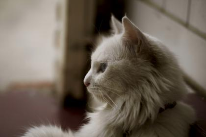 white, cat, kitten, house, animal, pet