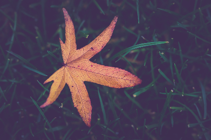 autumn,   leaf,   grass,   green,   ornage,   alone,   fall,   autumn leaf,   ground,   maple leaf,   outdoors,   season