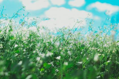 flowers, nature, blossoms, field, bed, white, purple, stems, stalks, petals, leaves, grass, bokeh, outdoors, sky, clouds