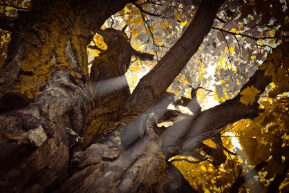 nature, tree, plant, sun rays, sunshine, trunk, stem, leaves, forest, green, sky, branch