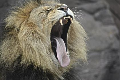 lion, wildlife, forest, woods, brown, cat, fur, roar, fangs, tongue