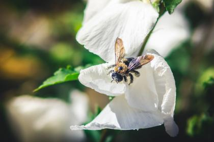 bee, insect, flowers, garden, nature
