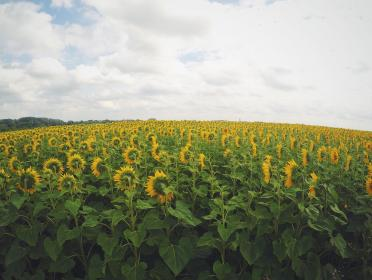 sunflowers, field, green, yellow, nature, outdoors, sky, clouds, garden