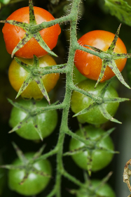 cherry,  tomatoes,  top,  vine,  fresh,  ripe,  vegetables,  close up,  garden,  raw,  food,  red,  green,  plant,  healthy
