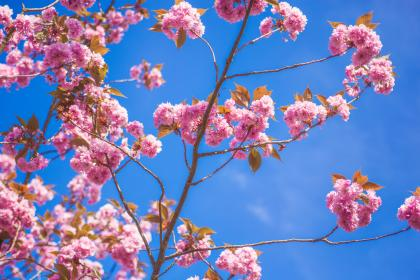 flowers, nature, blossoms, branches, twigs, leaves, pink, petals, bokeh, outdoors, garden, blue, sky, clouds