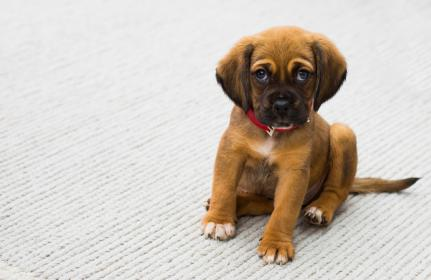 animals, puppy, dogs, adorable, cute, fluffy, eyes, domesticated, paws, sit, tail, leash, rug, mat
