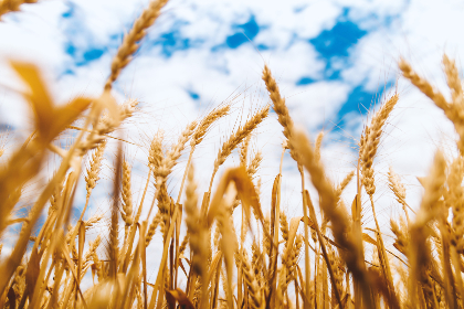 wheat,   farm,   blue,   sky,   barley,   clouds,   countryside,   crops,   field,   grass