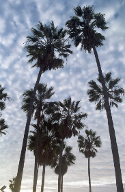 palm,  trees,  sky,  clouds,  sunshine,  beach,  landscape,  nature,  california,  natural,  sihouette