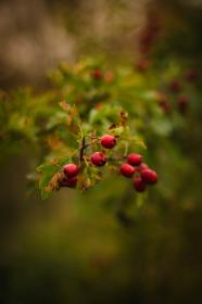 red, fruit, green, leaf, plant, outdoor, nature, blur, bokeh