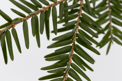 macro,  tree,  pine needles,  tree branch,  close up,  nature,  organic,  natural,  outdoors,  environment,  green,  growth,  plant,  twig,  simple