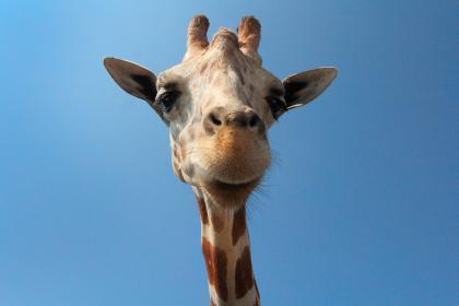 giraffe, animal, woods, forest, zoo, snout, spots