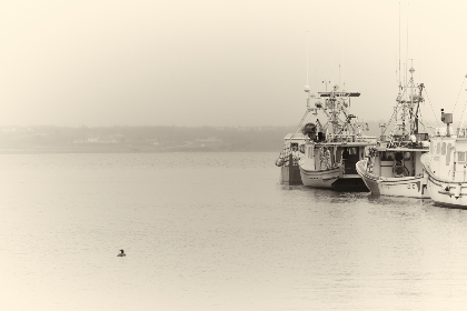 boats,  water,  harbor,  marina,  bay,  boat,  loon,  coast,  ocean,  sea,  nautical,  transport,  calm,  sepia,  duck,  bird,  fog,  mist, vintage
