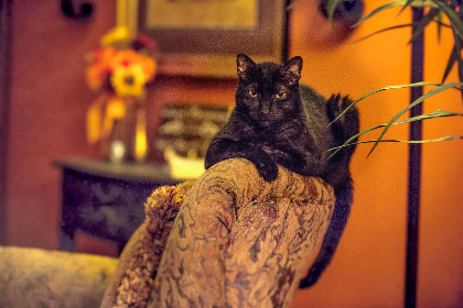 free photo of cat    black cat