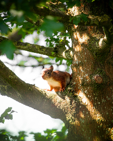 squirrel,  tree,  summer,  nature,  animals,  small,  baby,  red,  leaves,  green