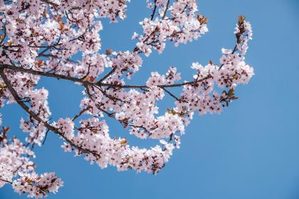 pink, blossoms, bloom, flower, tree, branch, nature, plant, blue, sky