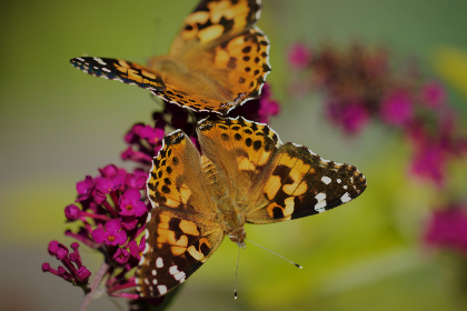 close up,   garden,   summer,   detail,   bug,   wings,   nature,   colorful,   outdoor,   wildlife,   bokeh,   macro,  flowers,  wingspan,  pair,  butterfly