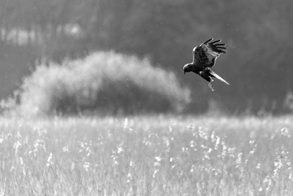 bird,  diving,  animal,  flying,  field,  beak,  wings,  feathers,  flight,  hunting,  nature,  wildlife,  monochromatic