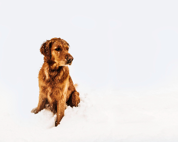 cold,  dog,  snow,  winter,  frozen,  wet,  animal,  pet,  retriever,  paws